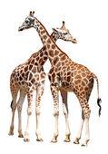 Giraffes — Stok fotoğraf