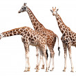 Herd of giraffes — Stock Photo #10198822
