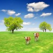 Cows in the meadow - Stock Photo