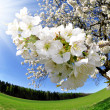 Cherry tree flower - Stock Photo