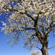 Blooming cherry tree - Stock Photo