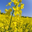 Rapeseed field — Stock Photo #10343483