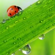 Stock Photo: Dew and ladybird