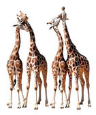 Loving giraffes — Stock Photo