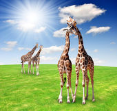 Giraffe love — Stock Photo