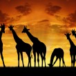 Stock Photo: Giraffes in sunset