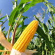 Corn field — Stock Photo #7974431