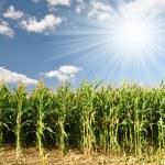 Corn field — Stock Photo #7974621