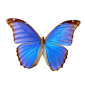 Blue morpho — Stock Photo