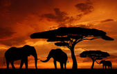 Silhouette elephants — Stock Photo