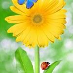 Yellow gerberas — Stock Photo