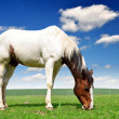 Royalty-Free Stock Photo: White horse