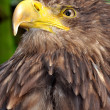 Sea eagle — Photo