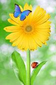 Gerberas amarillas — Foto de Stock