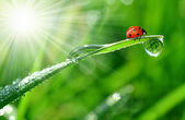 Dew and ladybird — Stock Photo