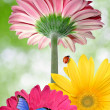 Stock Photo: Gerberas