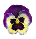 Isolated pansy — Stock Photo