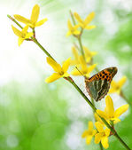 Laburnum with butterfly — Stock Photo