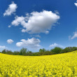 Rapeseed field — Stock Photo #8059309