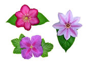 Flowers of the genus Clematis — Stock Photo