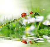 Dew and ladybird — Foto de Stock