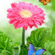 Gerberas with butterflies - Stock Photo