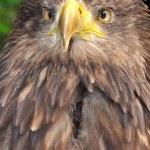 Sea eagle — Stock Photo #8099027