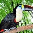 Beautiful tucan - Stock Photo