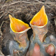 Baby blackbirds - Foto Stock