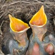 Baby blackbirds - Stock fotografie