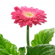 Gerbera isolated - Stock Photo