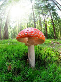 Toadstool — Stock Photo