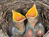 Baby blackbirds — Stock Photo
