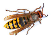European Hornet (Vespa crabro) — Stock Photo