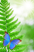 Butterflies morpho — Stock Photo