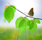 Butterfly on beech branch — Stock Photo