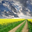 Rapeseed field — Stock Photo #8123432
