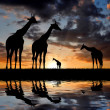 Herd of giraffe — Stock Photo