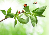 Spring branch with ladybug — Stock Photo