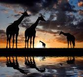 Herd of giraffe — Stock Photo