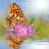 Butterfly Fabriciana aglaia — Stock Photo
