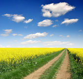 Way in rapeseed field — Stock Photo