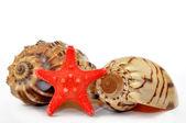 Tropical sea shells — Stock Photo