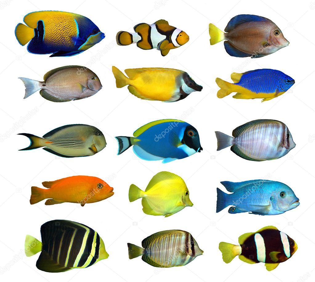 Tropical reef fish stock photo vencav 8222210 for Reef tropical fish