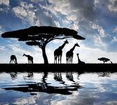 Giraff — Stockfoto