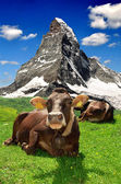 Cow lying in the meadow — Stock Photo