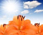 Orange lilie — Stockfoto