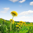 Dandelions — Stock Photo #8932288
