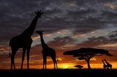 Herd of giraffes — Stock Photo