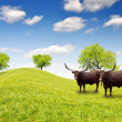 Watusi cattle - Stock Photo